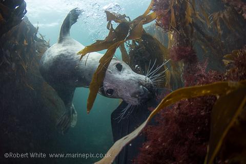 Seal hiding amongst the kelp
