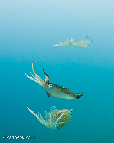 Mating Squid, Ambon