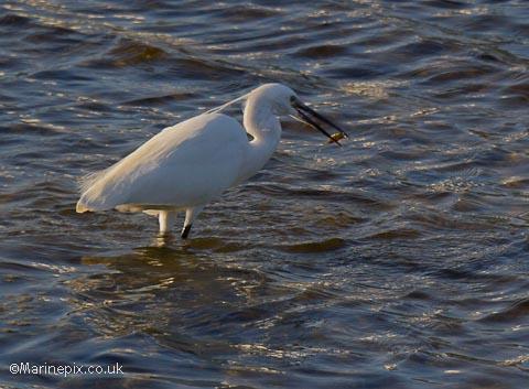 Wading Egret Feeding