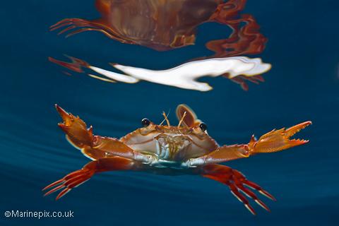 Swimming Crab in Djibouti
