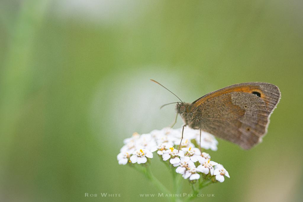 Gatekeeper Butterfly on white flower