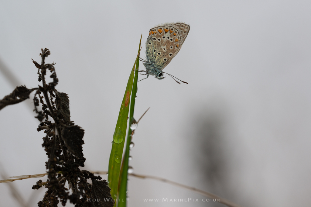 Common Blue Butterfly on dew covered Grass Stem