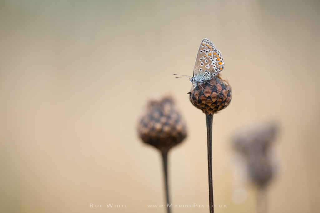 Common Blue butterfly on flower bud