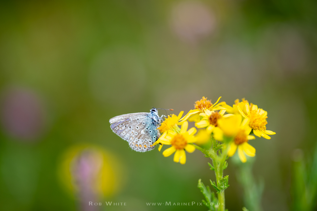 Common Blue butterfly on yellow flower with blurred background
