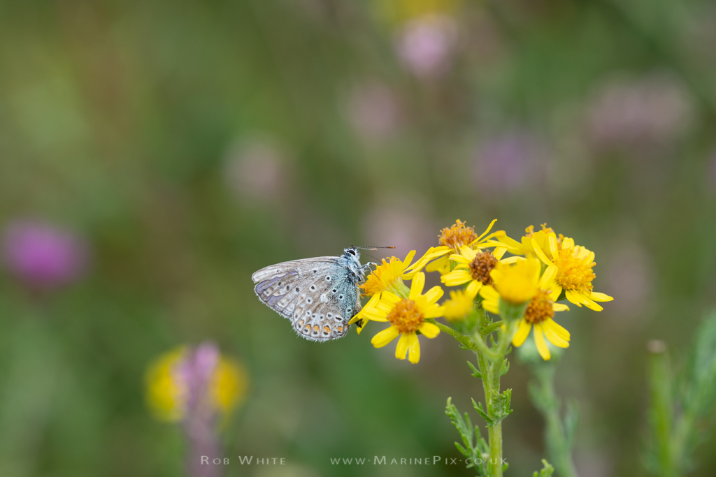 Common Blue butterfly on yellow flower with in focus background