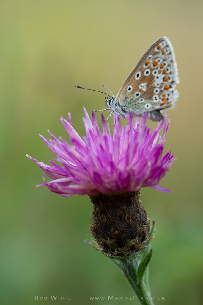 Common Blue Butterfly on Purple Thistle